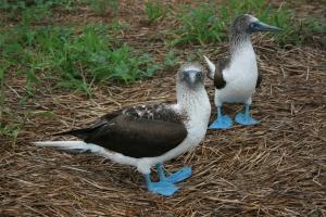 Pato azul - blåføtter