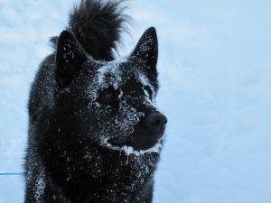 Varg koser seg ute i kulda og snøen