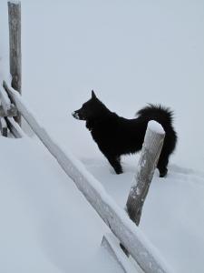 Varg storkoser seg i snøen